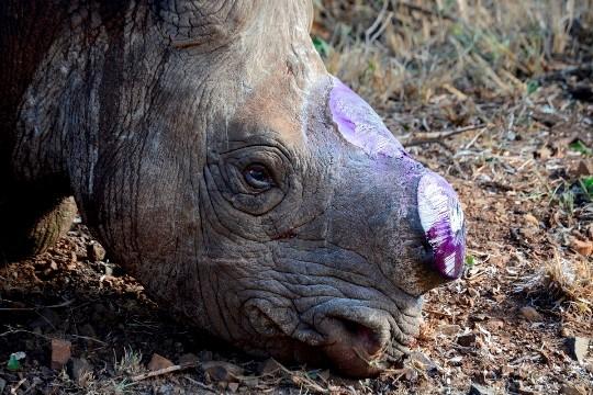Rhino De-horning