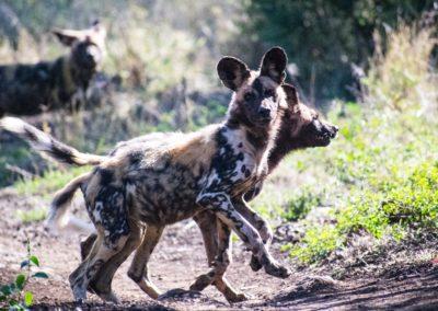 Wild dog 4 - James Orton